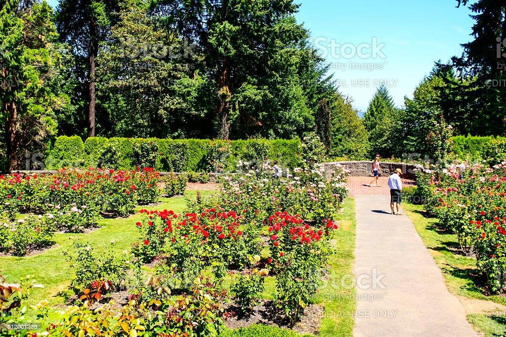 The Rose gardens atop of Washington park in Portland Oregon stock photo