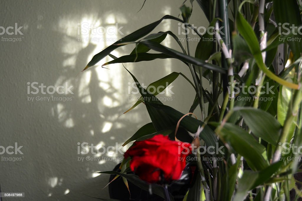 The rose stock photo