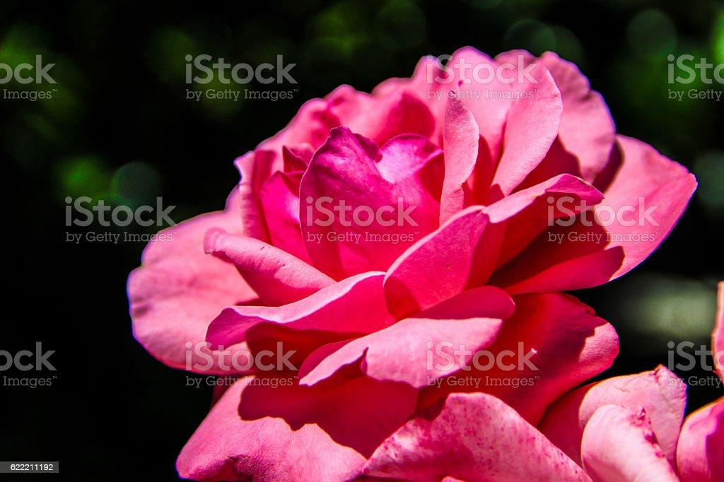 La Rose  photo libre de droits