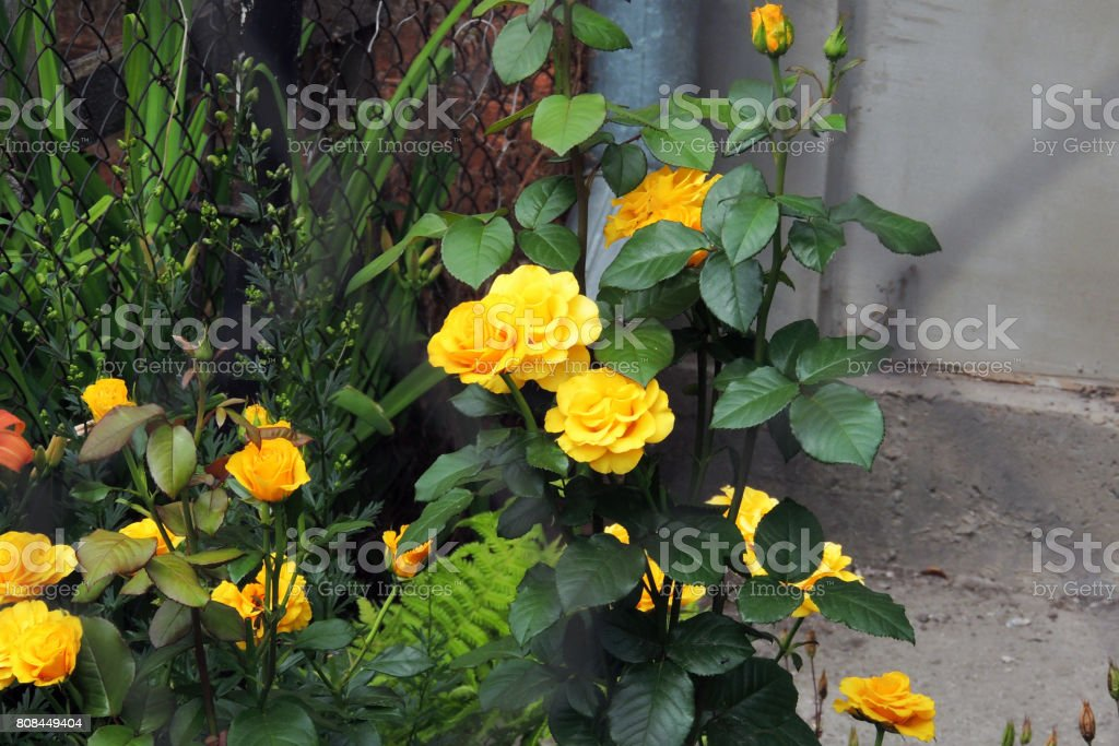 the roses in the garden stock photo