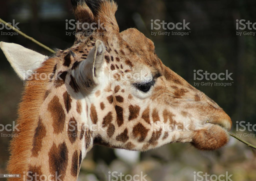 The Rothschild's giraffe (Giraffa camelopardalis rothschildi) stock photo