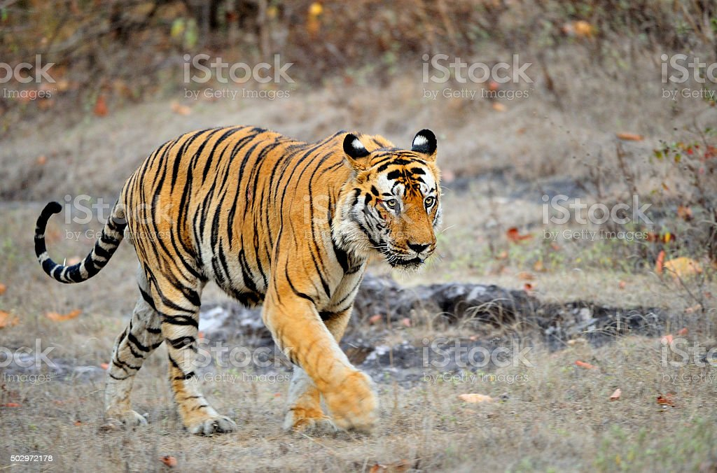 The Royal Bengal tiger stock photo