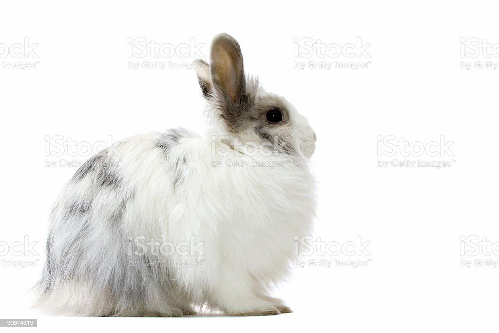 the royal lionhead's rabbit stock photo