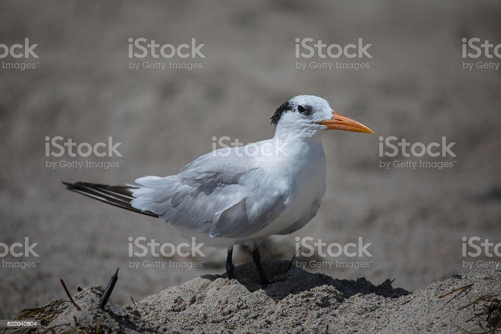 The royal tern (Thalasseus maximus) in it's winter plumage stock photo