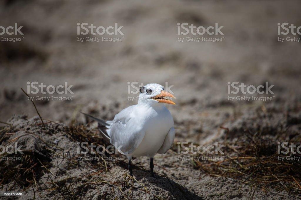 The royal tern (Thalasseus maximus) in it's winter plumage walki stock photo