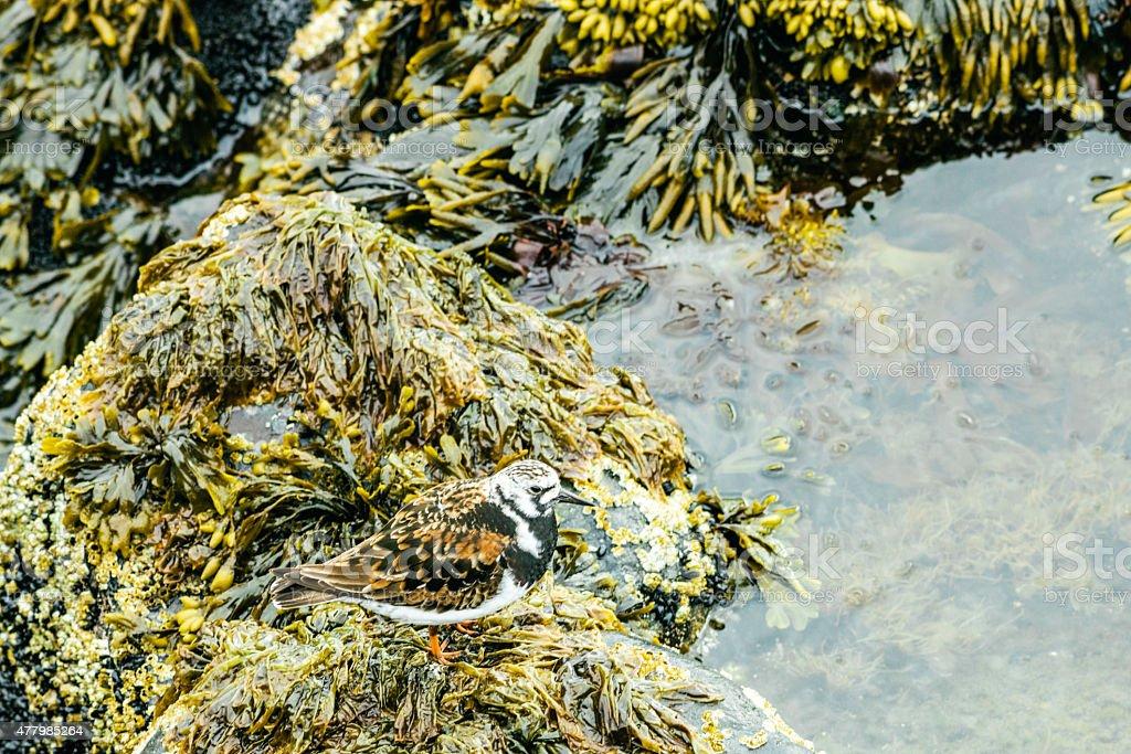 The Ruddy Turnstone (Arenaria interpres), Northern Islandic coast stock photo