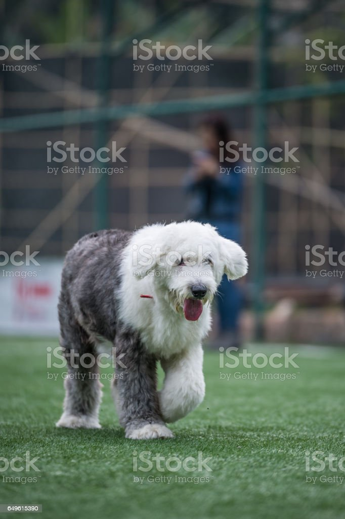 The Running Old English Sheepdog stock photo