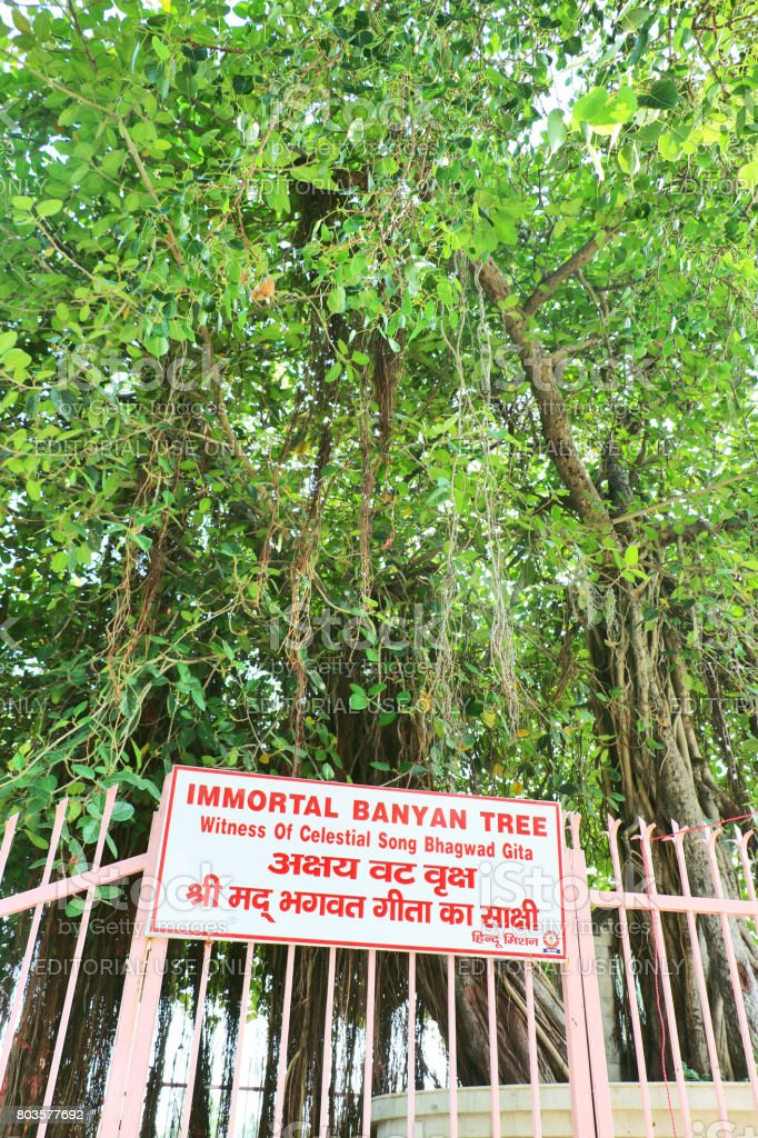 The sacred Banyan tree at Jyotisar, Kurukshetra, Hariyana stock photo