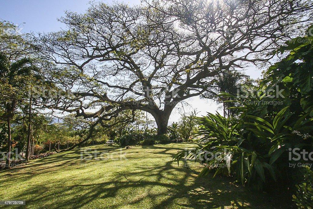 The Saman Tree stock photo