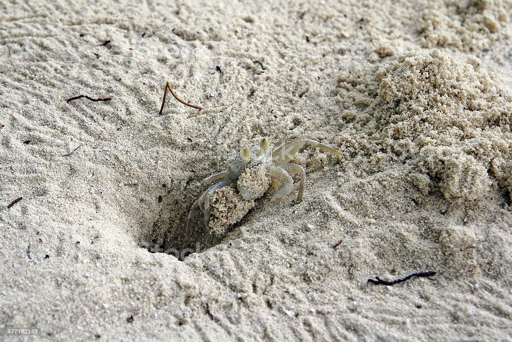 the sand crab stock photo