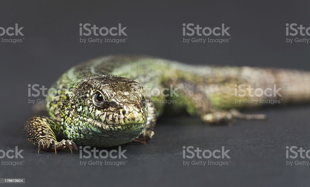 The Sand Lizard on Grey. stock photo