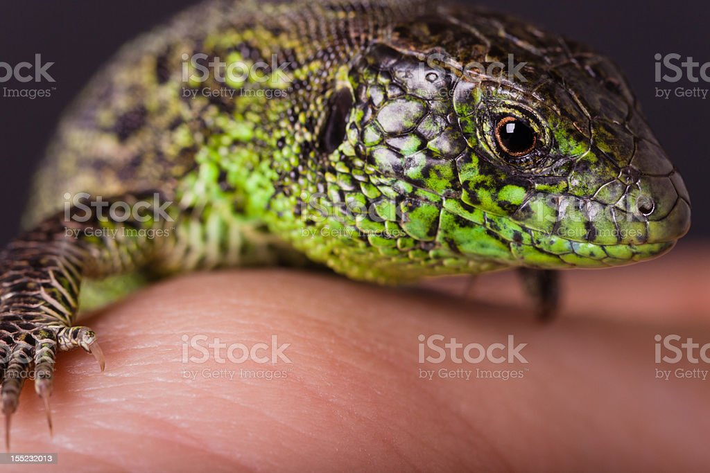 The Sand Lizard on Hand stock photo