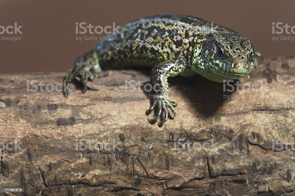 The Sand Lizard on tree stock photo