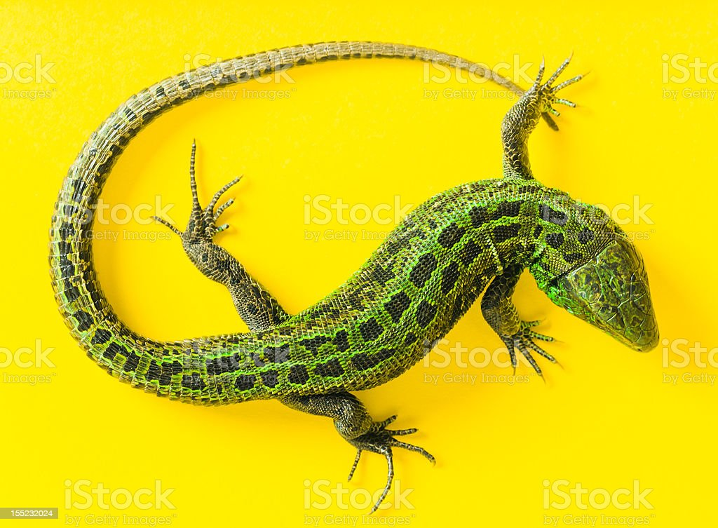 The Sand Lizard royalty-free stock photo