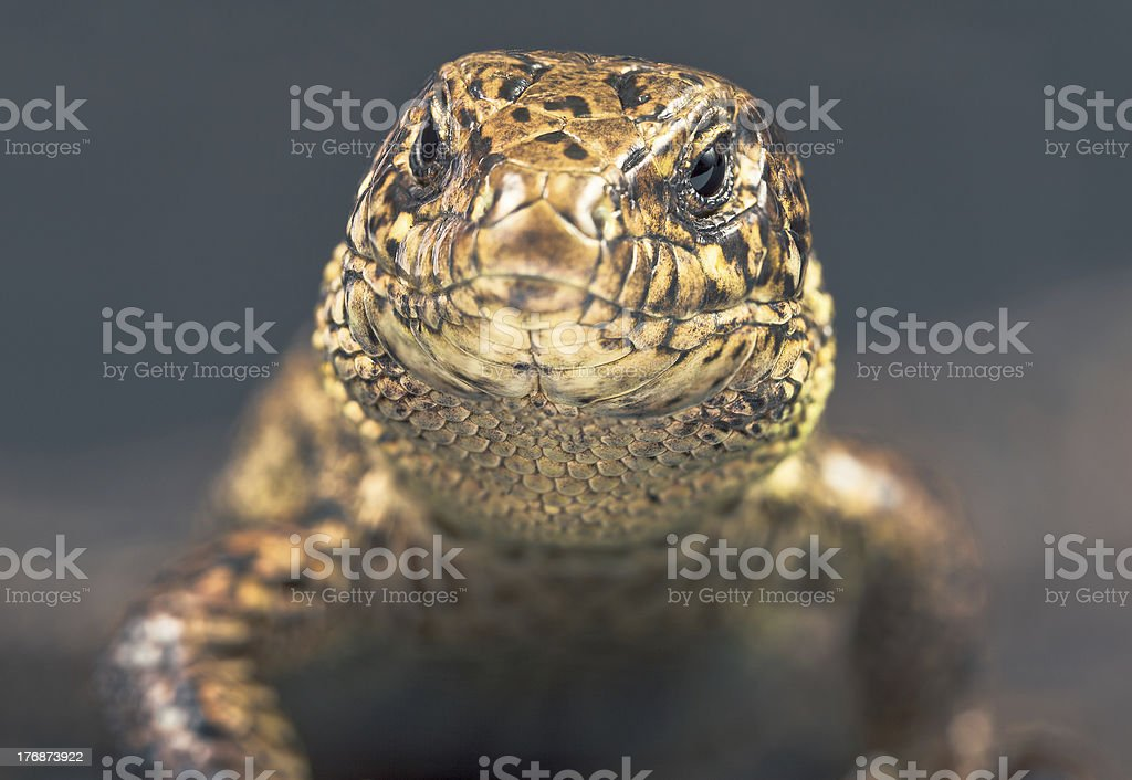 The Sand Lizard. stock photo