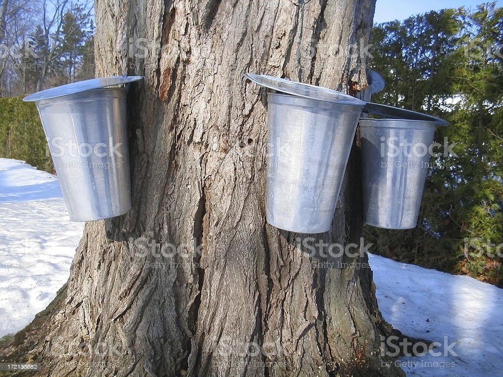 The sap is running today. royalty-free stock photo