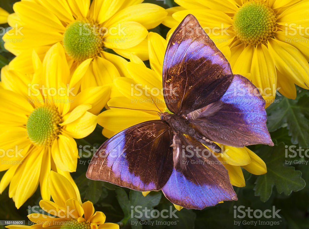 The Saturn Butterfly royalty-free stock photo