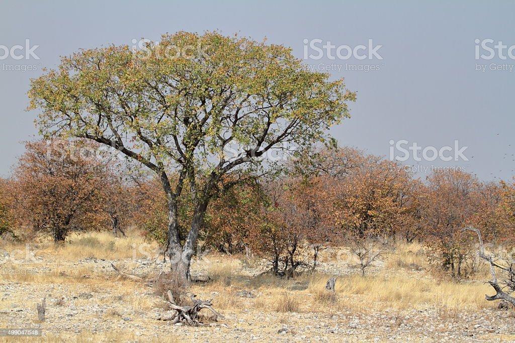 The savannah in the Etosha National Park in Namibia stock photo