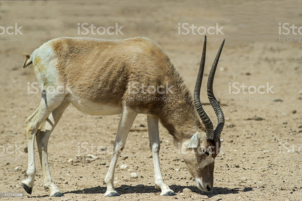 The scimitar horned antelope addax royalty-free stock photo