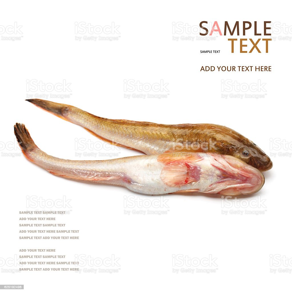 The sea catfish stock photo