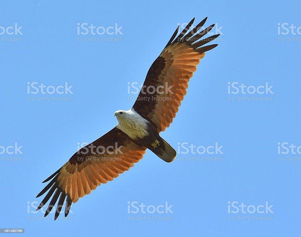 The Sea Eagle stock photo