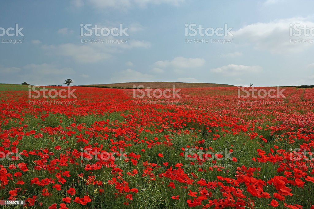 The Sea Of Red poppies stock photo