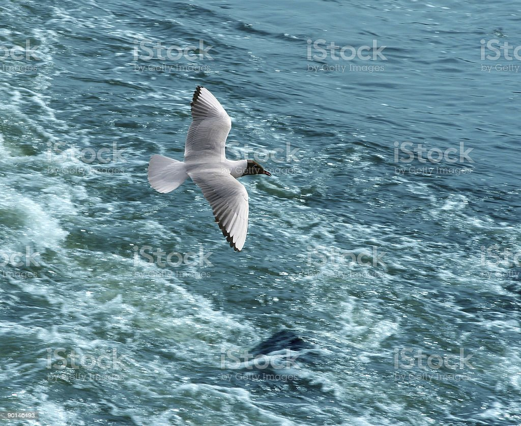 The seagull in flight. royalty-free stock photo