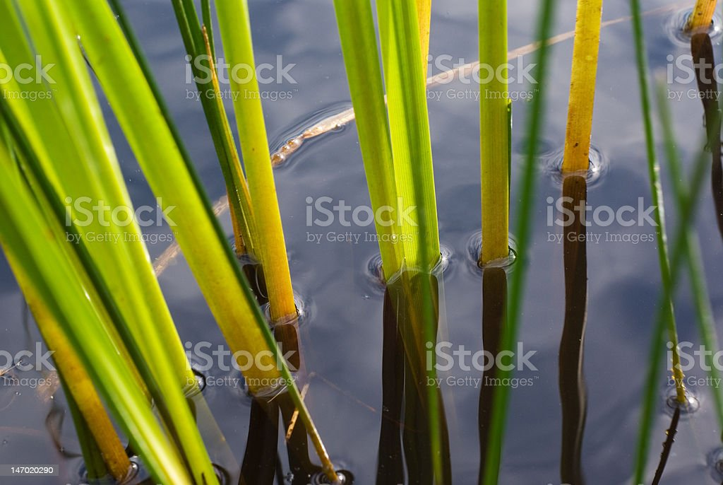 The sedge in water royalty-free stock photo