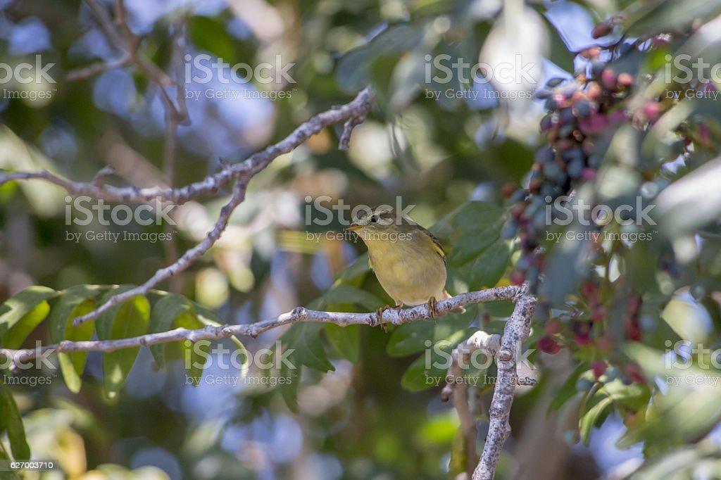 The sedge warbler stock photo