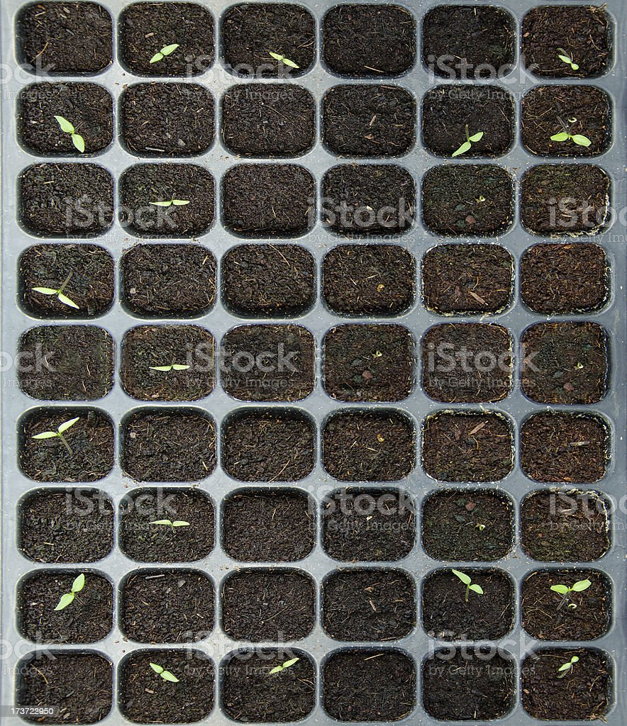 The Seedlings vegetable in plastic tray royalty-free stock photo