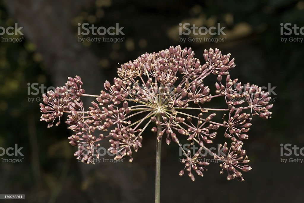 The seeds of dill royalty-free stock photo