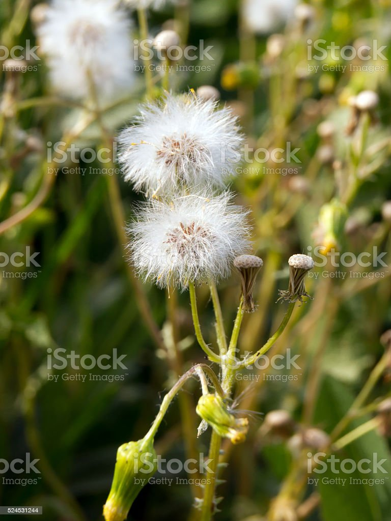 The senecio vulgaris stock photo