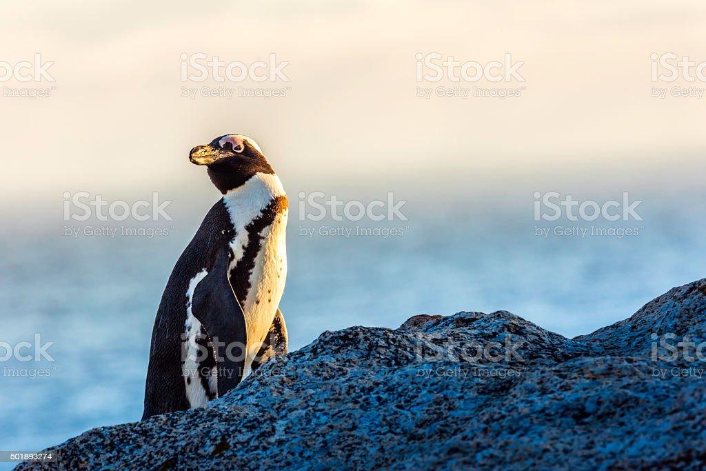 The senior penguin at boulders beach stock photo