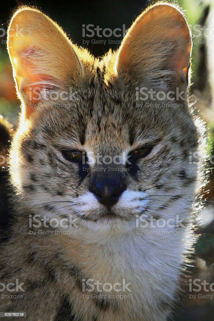 The serval- Leptailurus serval of Felis serval stock photo