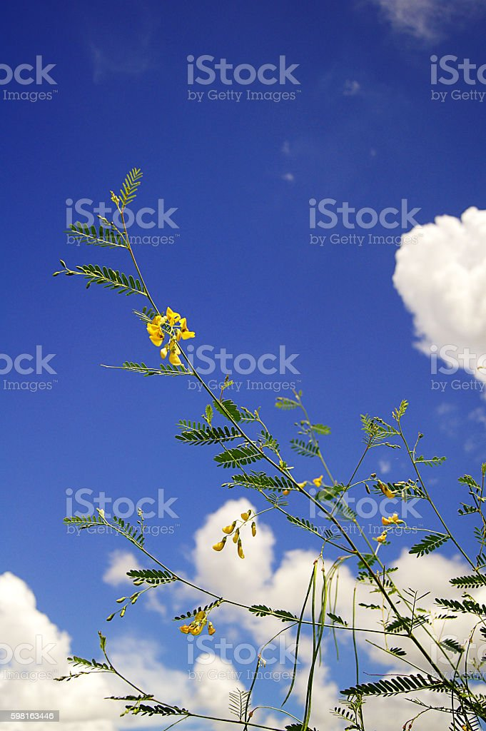The sesbania javanica backdrop is the sky and the clouds. stock photo