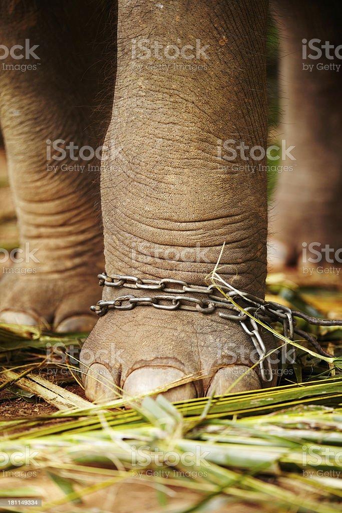 The shackles of captivity royalty-free stock photo