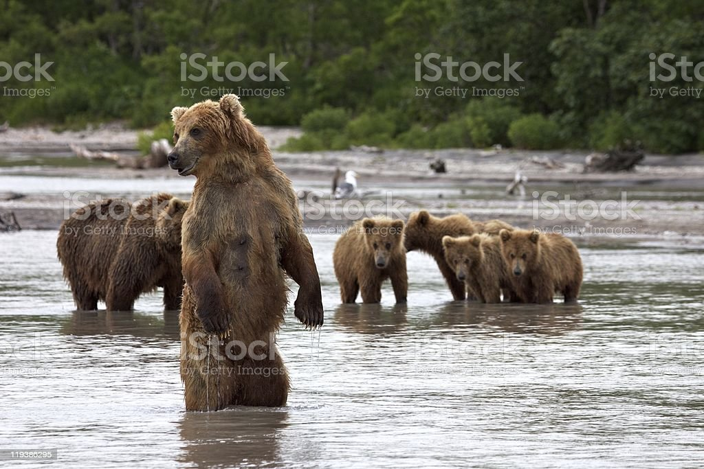 The she-bear costs on hinder legs. stock photo