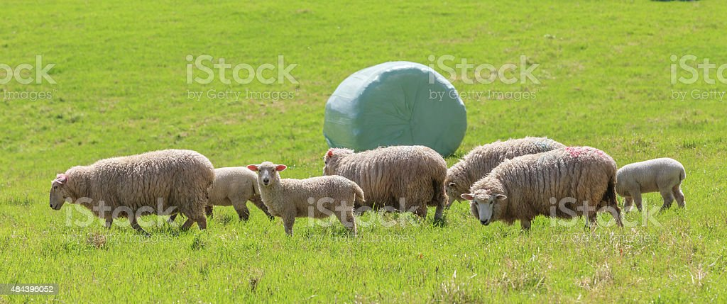The sheep farm and white wrapped silage background. stock photo