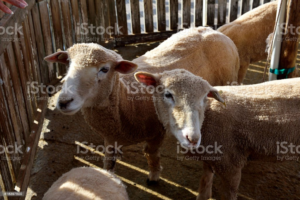 The sheep have blasted themselves . stock photo