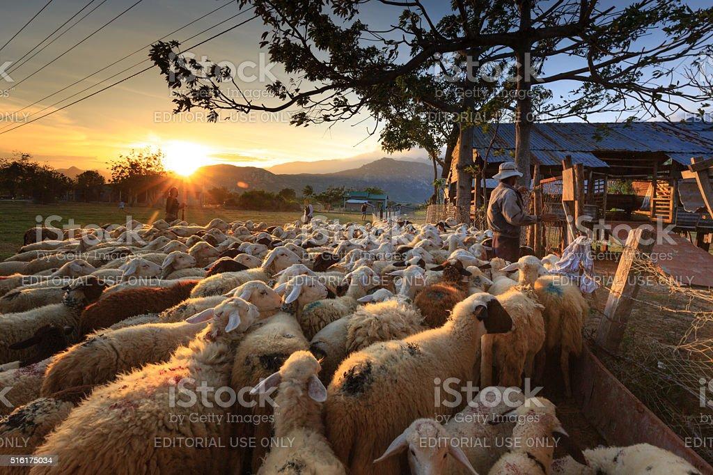 The sheeps are back to the barn at sunset stock photo
