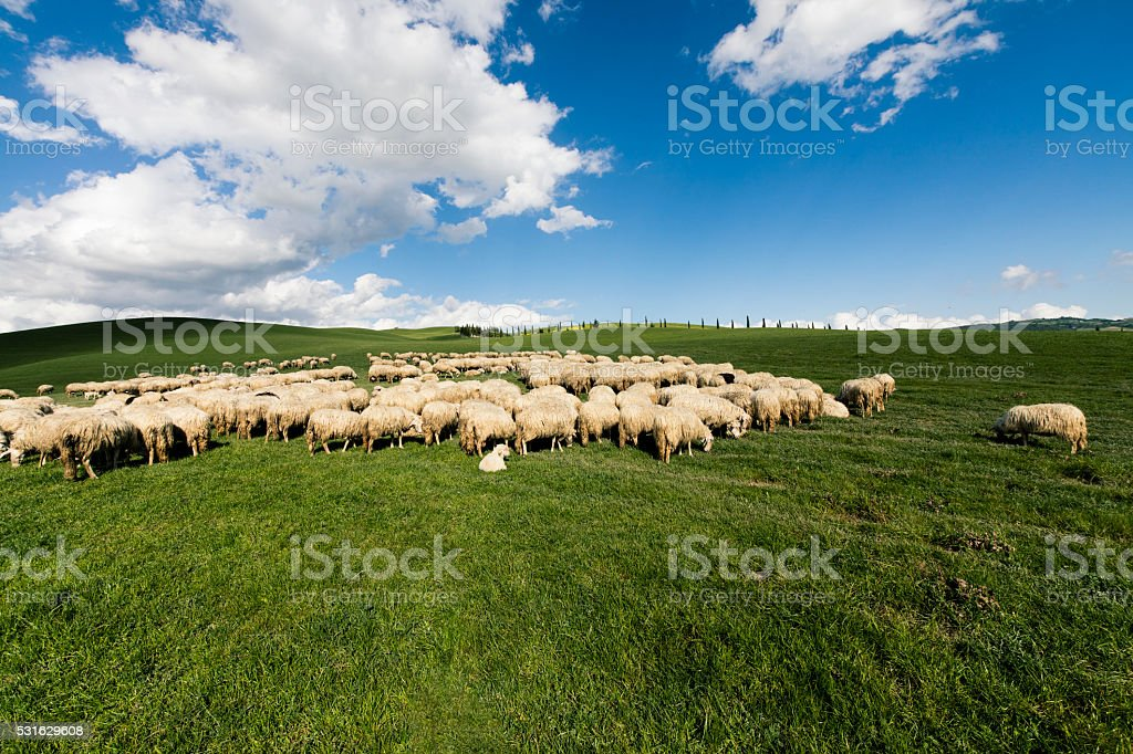 The shepherds took the sheep to their spring pasture. stock photo