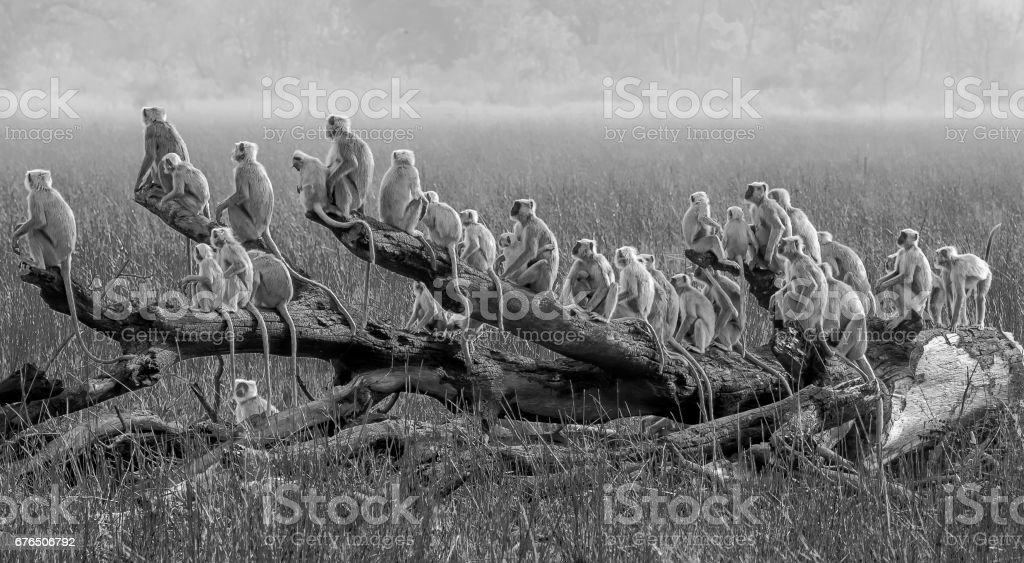 The Ship of Langur monkeys stock photo