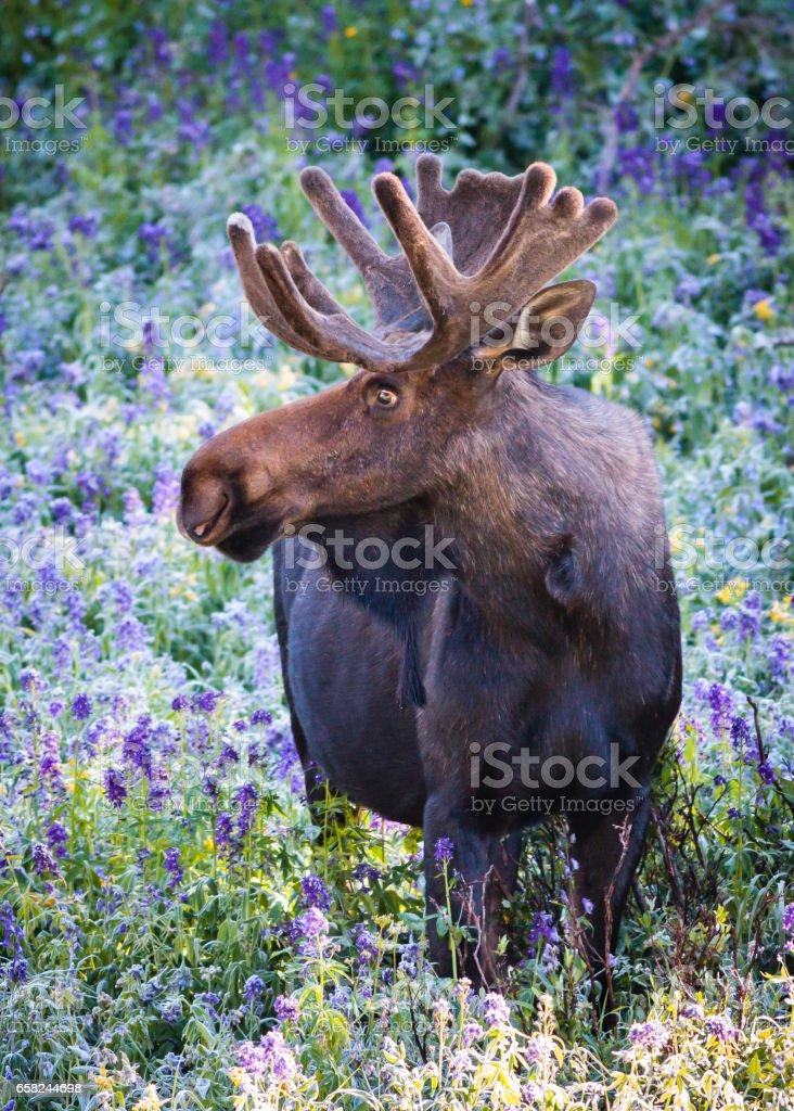 The Shiras Moose of Colorado stock photo