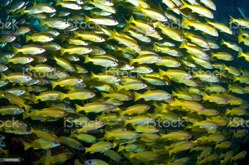 The shoal royalty-free stock photo