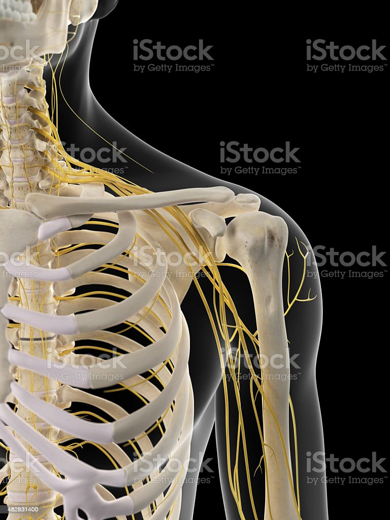 The shoulder nerves stock photo