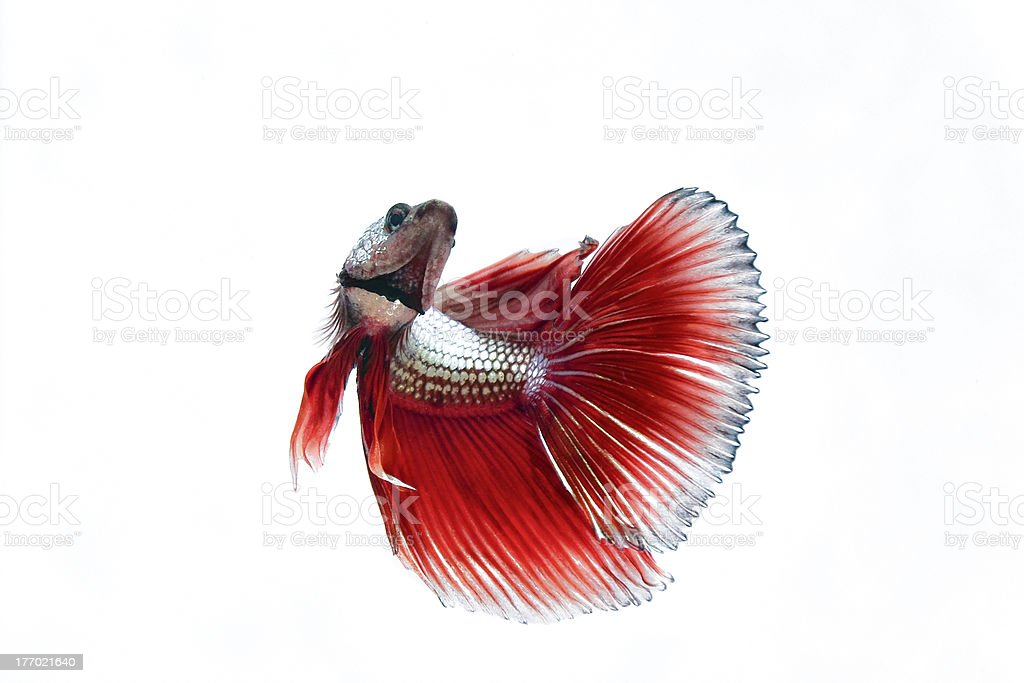 The Siamese fighting fish royalty-free stock photo