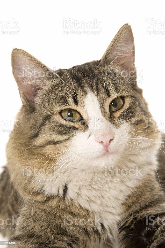 The Siberian cat royalty-free stock photo