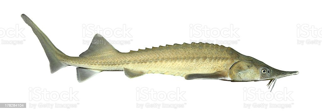 The Siberian sturgeon (Acipenser baerii). stock photo