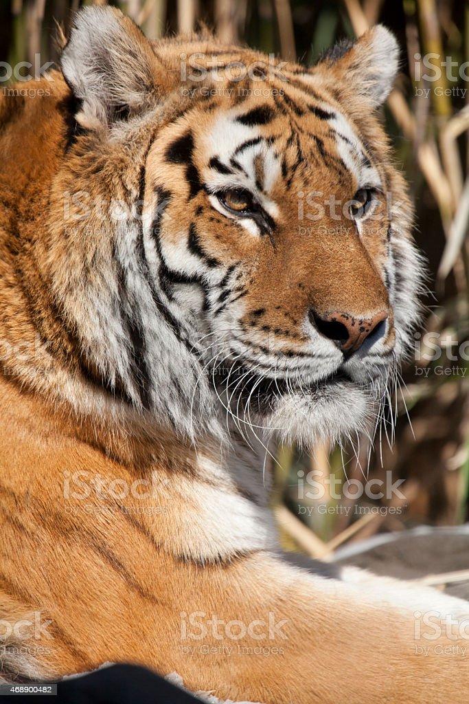 The Siberian tiger stock photo