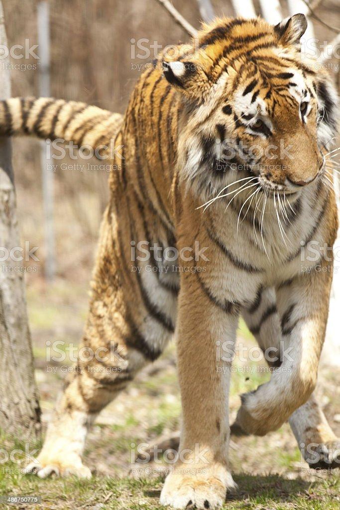 The Siberian tiger royalty-free stock photo